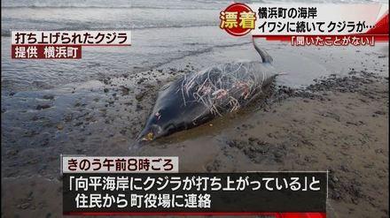 1-横浜町の海岸にクジラが打ちあがる(青森朝日放送).wmv_000013332.jpg